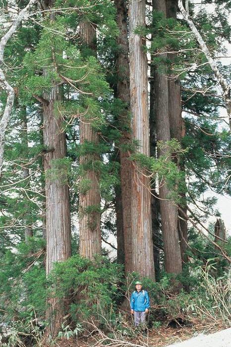 秋田杉(桃洞杉) 屋久杉が育つ森林は、残された最大のスギ群落です。世界遺産登録に際しても...