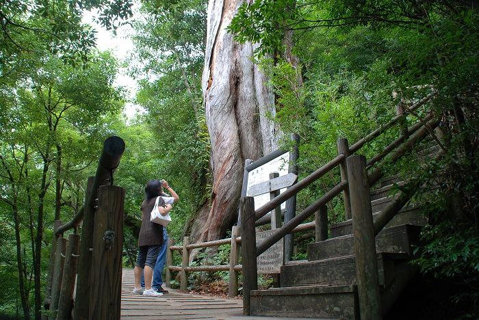屋久杉巨樹・著名木 | 屋久島町...